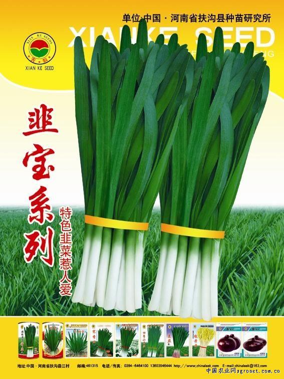 韭菜新品系—韭菜种子