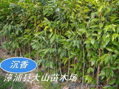 沉香(莞香,土沉香,香料植物)