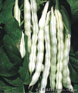1001(架豆)—菜豆种子