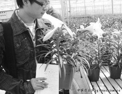 百合花种植基地图片