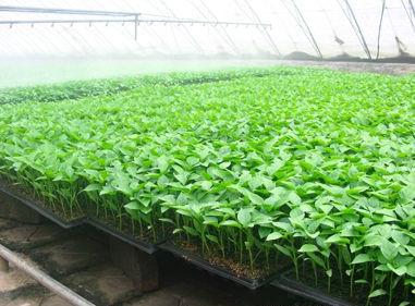夏季番茄育苗技术要点