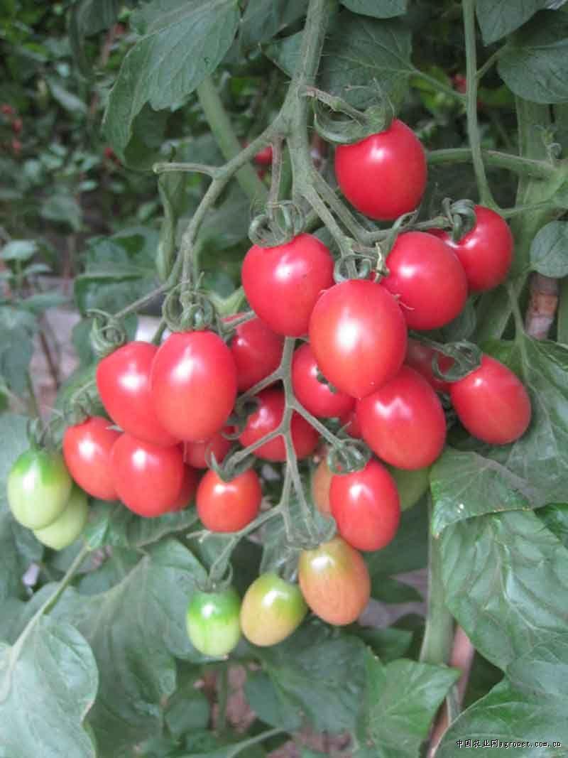 迪粉—番茄–品展