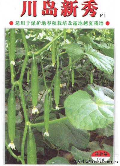 川岛新秀—黄瓜种子