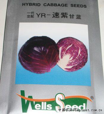 YR速紫甘藍—甘藍種子