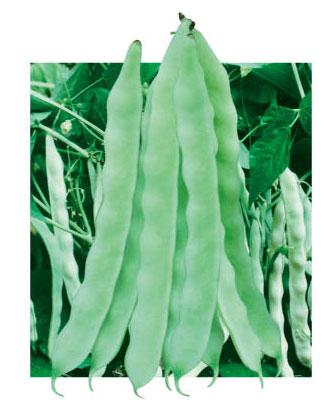 地豆王一号-菜豆种子