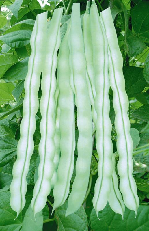 胶研808芸豆-菜豆种子