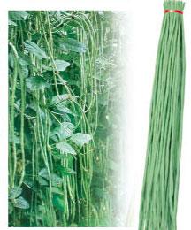 精选张塘王—豇豆种子