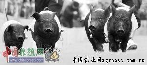 海南屯昌黑�i叫��u外市�觯�D)