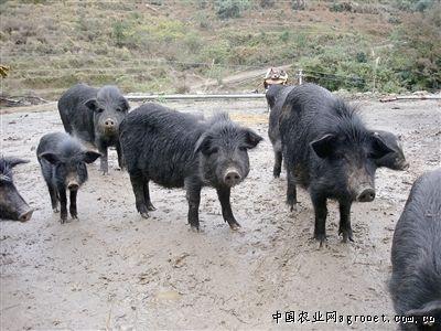 一群猪的图片_一群猪儿上论坛