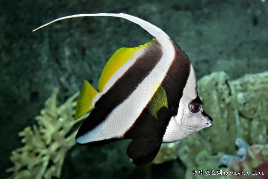 壁纸 动物 鱼 鱼类 550_367