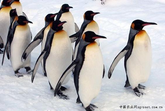 旭川县旭山动物园,帝企鹅正在白雪覆盖的走道上散步
