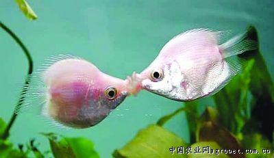 亲嘴热带鱼简笔画