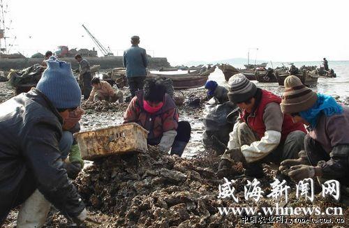 随后,记者在银滩海鲜市场看到不少外地旅行者也在购买牡蛎.