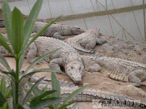 发现鳄鱼,鲟鱼,中华鳖等珍稀野生动物在技术人员的护