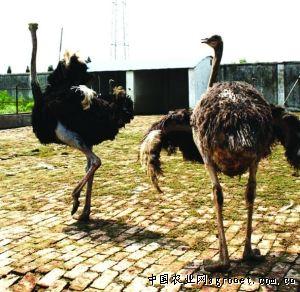 农村乡镇没有动物园,来自非洲的庞然大物吸引了好多
