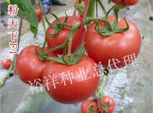 粉天下番茄種子