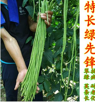 徒長綠先鋒高產細條豇豆—豇豆種子