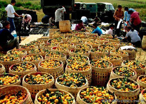 广西柳城华侨农场调整水果产业结构(图)