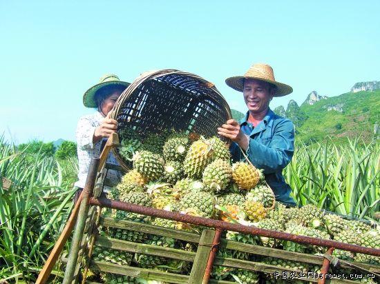 广西:田东作登乡发展菠萝种植(图)