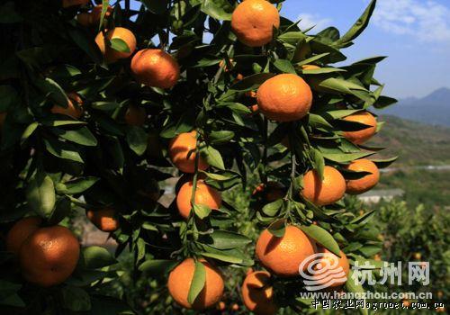 浙江千岛湖畔的淳安县又是一年橘红时(图)