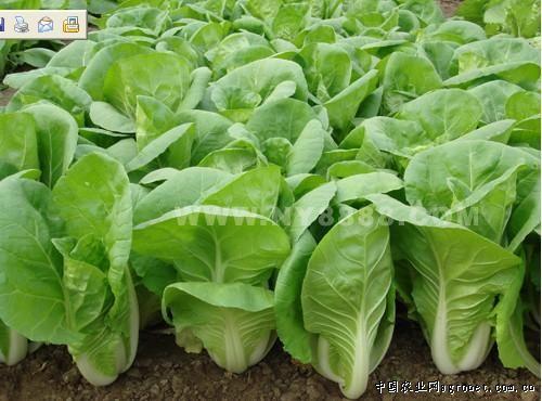 防癌抗癌:小白菜中所含的维生素c