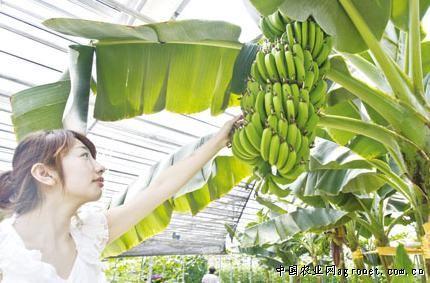 长春 香蕉树 火龙果 木瓜等南方果树首次在农博园结果