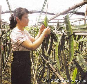 天津:北方大棚里的火龙果(图)