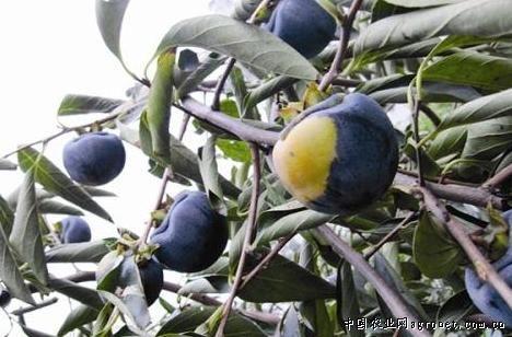 黑柿子园_江苏宿迁:瞧!这棵柿树结出了黑柿子(图),水果资讯,水果新闻 ...