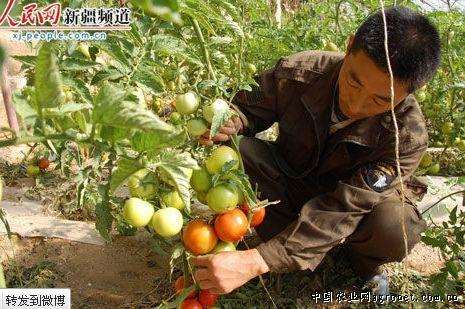 新疆哈巴河芹菜等反季节蔬菜已全面上市(图)