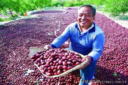 新疆塔里木盆地红枣迎来收获季节(图)