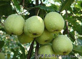 �V� 桔�r��N中田大山楂果(�D),蔬菜技�g,蔬菜�W技�g�l道
