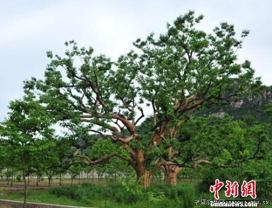 """河北中国最古老""""栗树王""""年产两百斤果实(图)"""