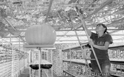 四川营山县大棚里蔬菜种出别样风景(图)