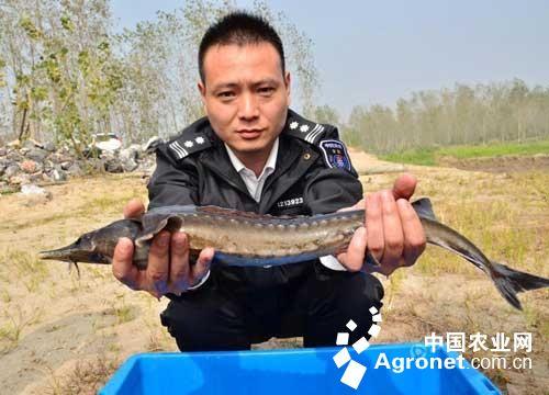 中华鲟是我国一级重点保护野生动物