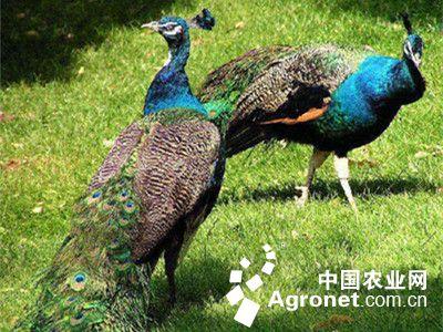 要观赏孔雀往往要去动物园.