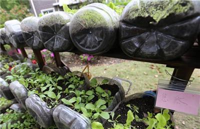 油桶,水桶,饮料瓶等塑料瓶,在居委会的组织下加工成器皿种植当季蔬菜