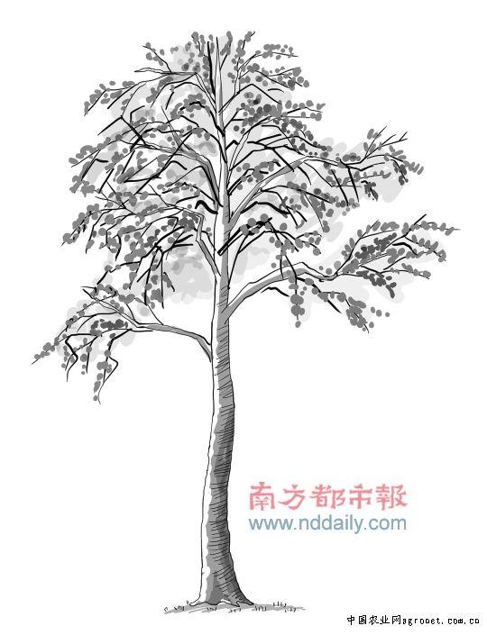 大树丛简笔画画法步骤