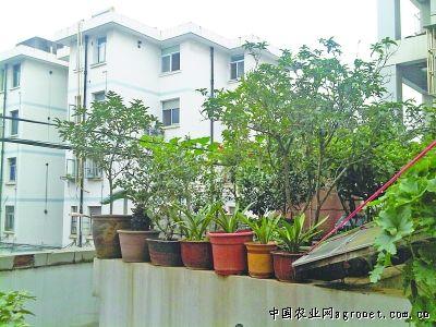 """这些蔬菜长势喜人,整个二楼平台俨然一个""""空中菜园""""."""