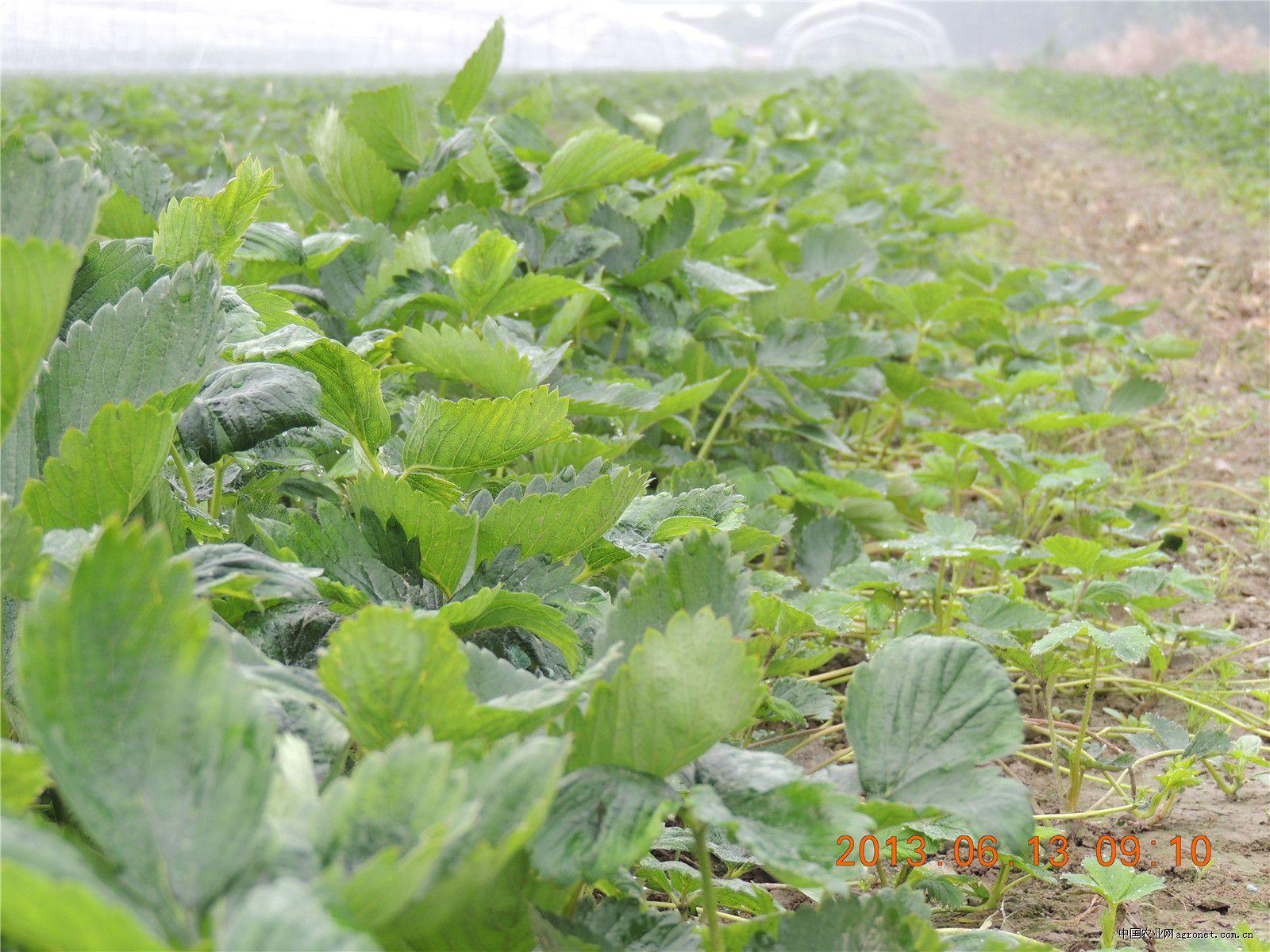 企业相册 - 幻灯片模式 - 杭州下沙草莓苗供应基地