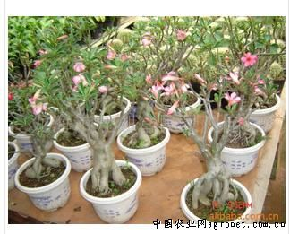 沙漠玫瑰盆景图片 沙漠玫瑰盆景艺术照片 一