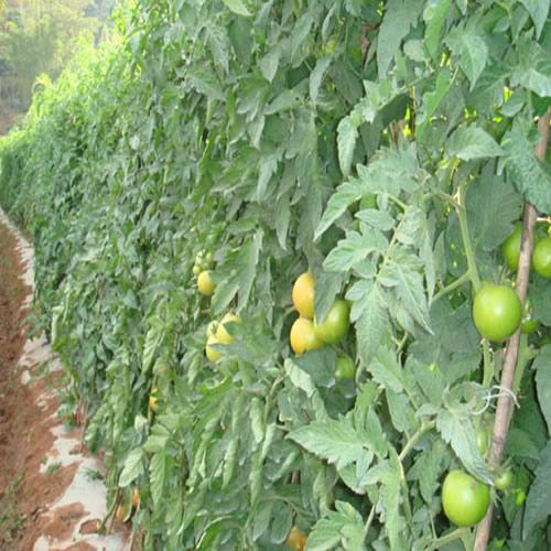 农产品番茄园背景素材