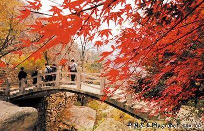 许多游客被五颜六色的树叶吸引,纷纷拿出相机在山间拍照留念.