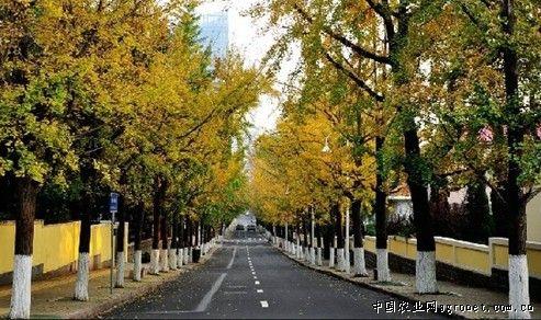 青岛八大关银杏黄了枫叶红了美色不可阻挡(图)