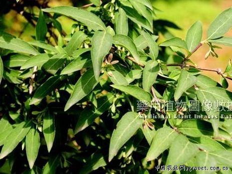 交翅木,农业资讯,中国农业网新闻频道