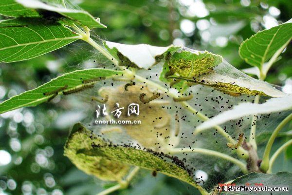 椿树的虫害防治,病虫害防治