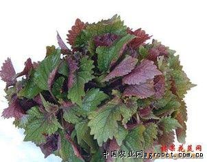紫苏叶的吃法_紫苏叶的吃法壁纸_香菇的吃法_芦荟的吃法和