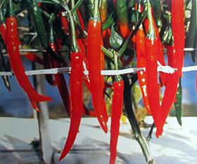 美香—辣椒種子