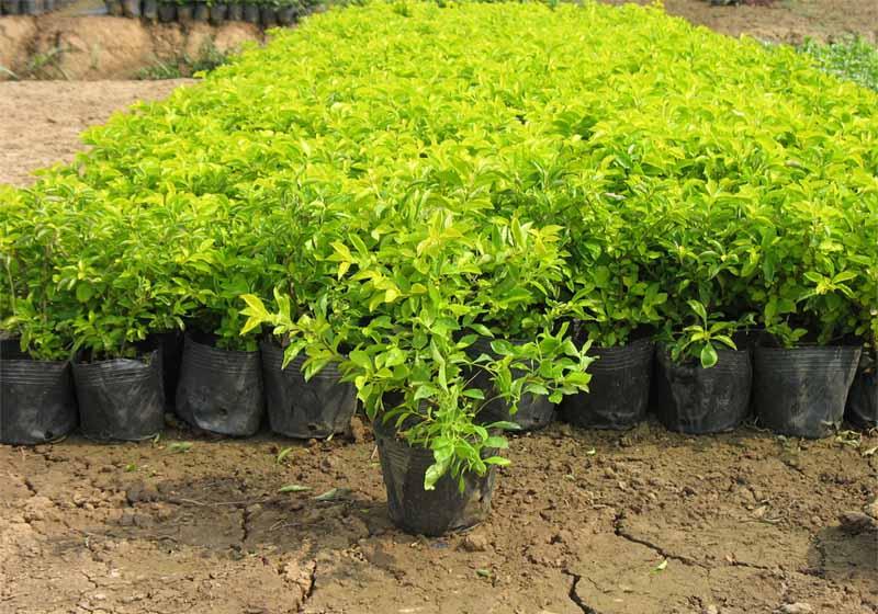 各种绿化苗木 – 产品展示