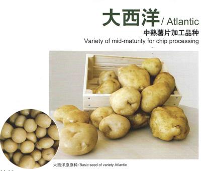 大西洋—马铃薯种子