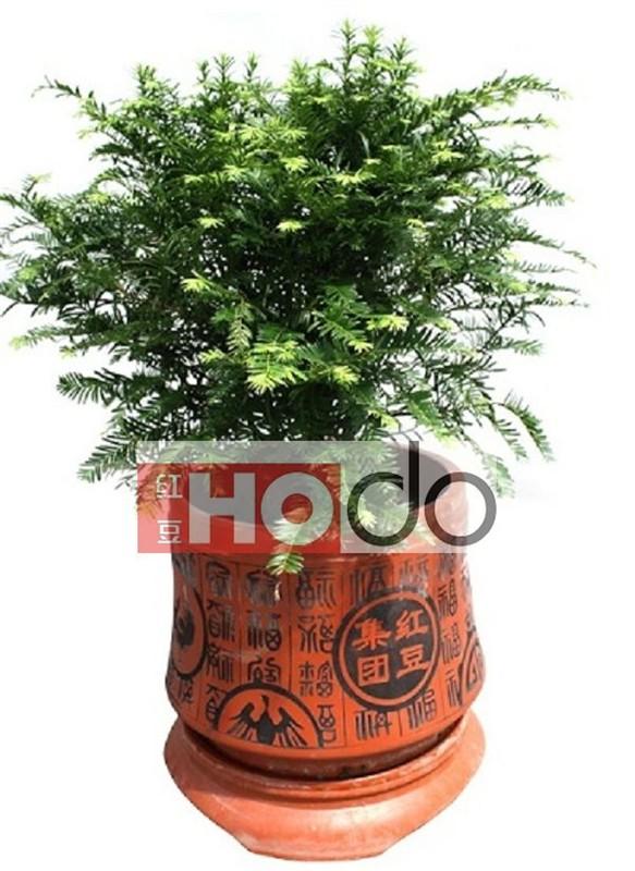 供应红豆杉树苗盆景,盆栽盆景,个人,中国农业网产品库